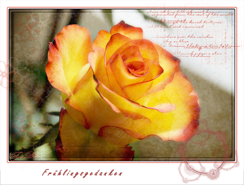 edelrose-rot-gelb