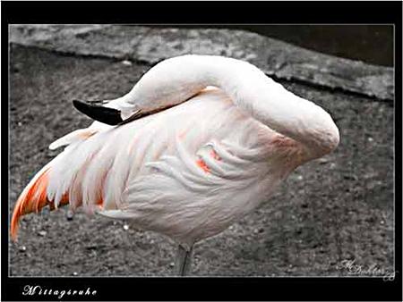 Flamingo beim Mittagsschlaf