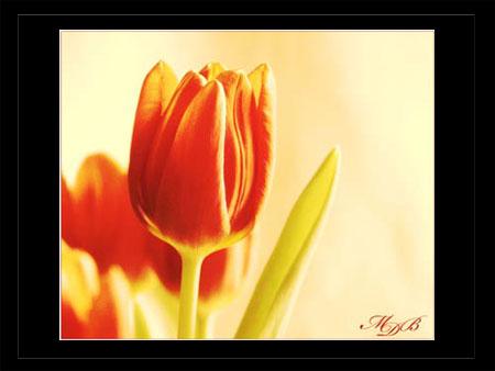 Farbspiele der Tulpen