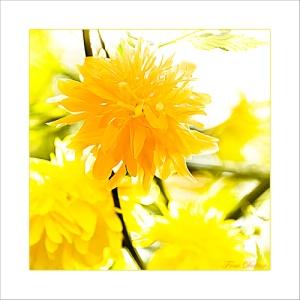 Sonnengelbes Frühlingsleuchten
