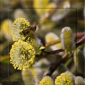 Die Bienen sammeln schon fleissig
