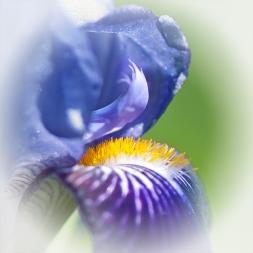 irisdetails