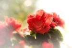 Rot und Weiß Azalee