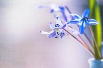 Frühlingsblüher - Scilla texturiert