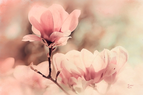 Magnolien Träume