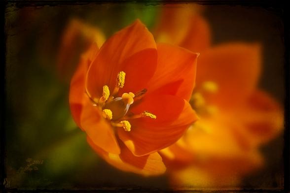 Milchstern Orange