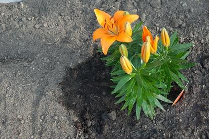 Lilien ganz frisch gepflanzt