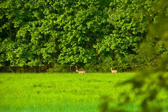 Rehe am Morgen beim Grasen