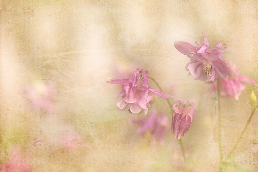 Akelei - Zartes Blühen