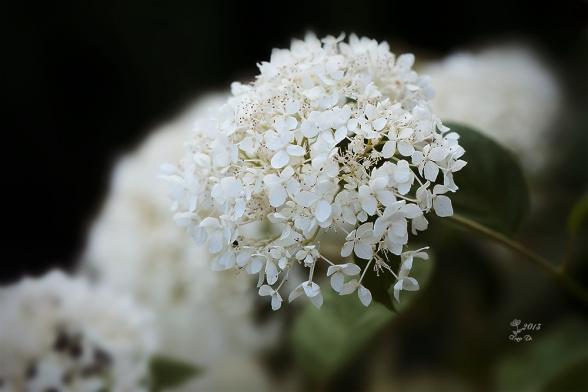 kleinebrautinweiss