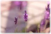 lavenderlight