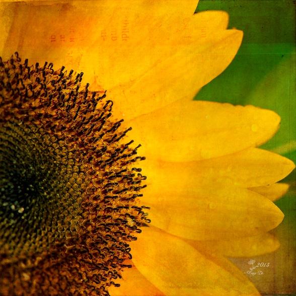 Sonnenblume in Textur