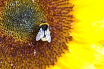sonnenblumenbesuch
