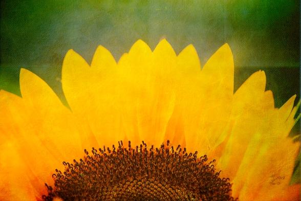Sonnenblume auf Textur