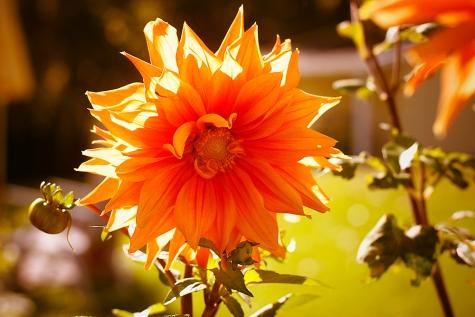 Gartenschönheiten im Herbstlicht