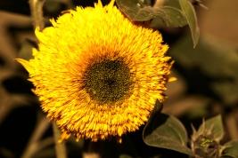 Sonnenblühen anders
