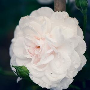 weisse-rose-garten