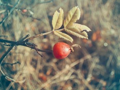 Herbstfrüchte in Rot