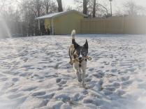 Schneehund Jamie