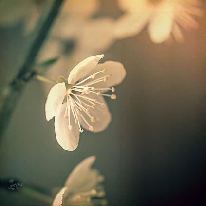 Blütentänzer 1
