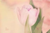 ganzzart-tulip