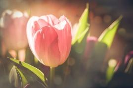 greetings-tulip