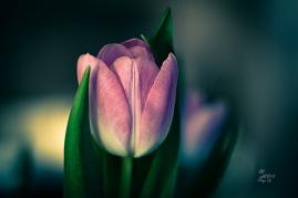 tulip-pink