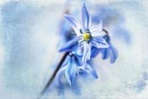 Scilla Blüte wie gemalt