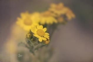 winzige gelbe Korbblütler