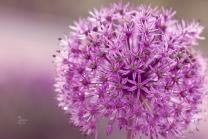 Lilac ball