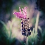 Daneben dann erster Lavendel