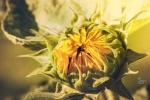 Die Knospe der Sonnenblume