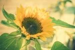 Die Sonnenblumen im Garten