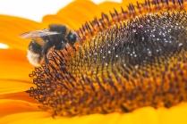 Gäste auf den Sonnenblumen