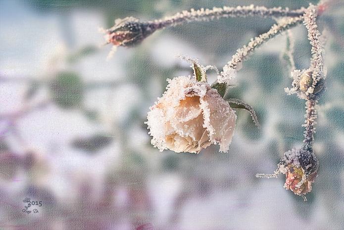 snowrose