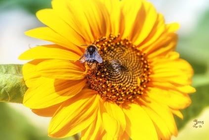 sunflower-guest