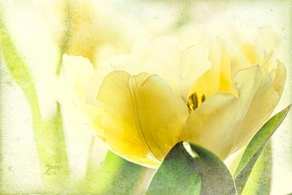 light-tulip