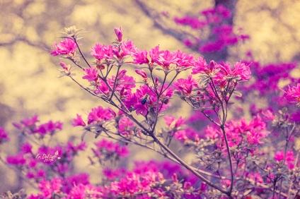 Azaleen im Britzer Garten