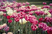 Tulipa im Britzer Garten