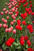 tulpen12