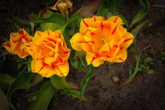 tulpen5