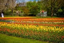 tulpenfelder2