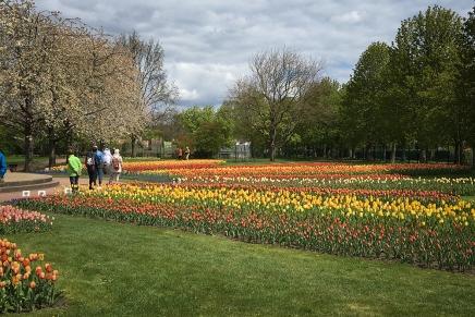tulpenfelder4