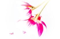 tulpen-adaptionen1