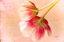 tulpen-adaptionen2